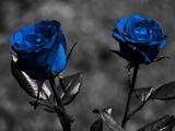 عکس شاخه گل های رز آبی رنگ