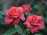 عکس گل رز قرمز طبیعی زیبا