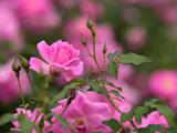 عکس شاخه گلهای رز صورتی