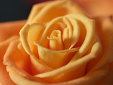 عکس زیبا از گلبرگ های گل رز نارنجی