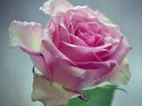 شاخه گل رز صورتی روشن زیبا
