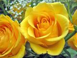 عکس گلبرگهای گل رز زرد