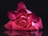 زیباترین عکس گل رز طبیعی