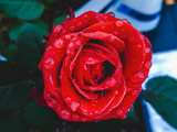 عکس شاخه گل رز قرمز