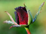 عکس قطرات باران روی غنچه گل رز