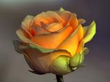 عکس گل رز زرد خوشگل و زیبا