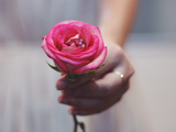 عکس تقدیم شاخه گل رز صورتی