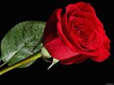 عکس تک شاخه گل رز قرمز