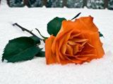 شاخه گل رز نارنجی در برف زمستان