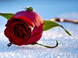 شاخه گل رز روی برف