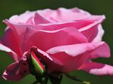 شاخه گل رز صورتی زیبا