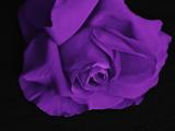 گلبرگ گل رز بنفش