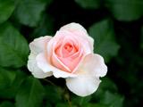 عکس تک شاخه گل رز زیبا