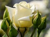 غنچه و گل رز سفید