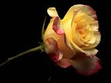 عکس شاخه گل رز زرد