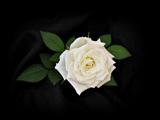 عکس گل رز سفید با زمینه سیاه