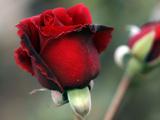 گل رز با گلبرگ های قرمز