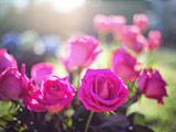 جدیدترین عکس گلهای رز صورتی