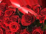 پس زمینه شاخه گل های رز قرمز
