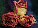 عکس سه شاخه گل رز زیبا