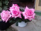 سبد گل رز صورتی طبیعی