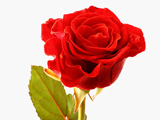 عکس تک شاخه گل رز طبیعی