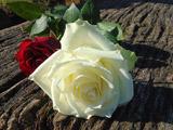 شاخه گل رز سفید طبیعی