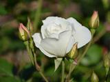 عکس شاخه گل رز سفید زیبا