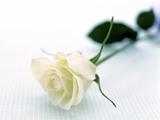 شاخه گل رز سفید