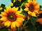 زیباترین گلهای آفتابگردان
