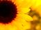 گل آفتاب گردان با کیفیت