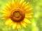 پس زمینه گل آفتابگردان