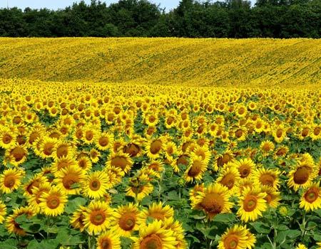 دشت گلهای آفتابگردان dasht gol aftabgardan