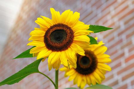 شاخه گل آفتابگردان زیبا goleh aftabghardan
