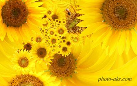 عکس گل آفتاب گردان sunflower wallpaper