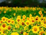 منظره دشت گل های آفتابگردان