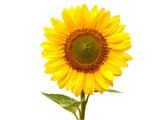 عکس شاخه گل آفتابگردان