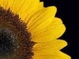 گلبرگ های گل آفتابگردان