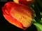 شبنم صبحگاهی روی گل لاله
