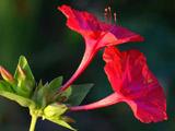 گل لاله عباسی قرمز