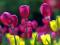 گلهای لاله هلندی