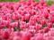 دشت گل های لاله صورتی