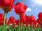 زیباترین پوستر های گل لاله