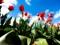والپیپر اچ دی گل های لاله