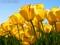 مزره گل لاله زرد