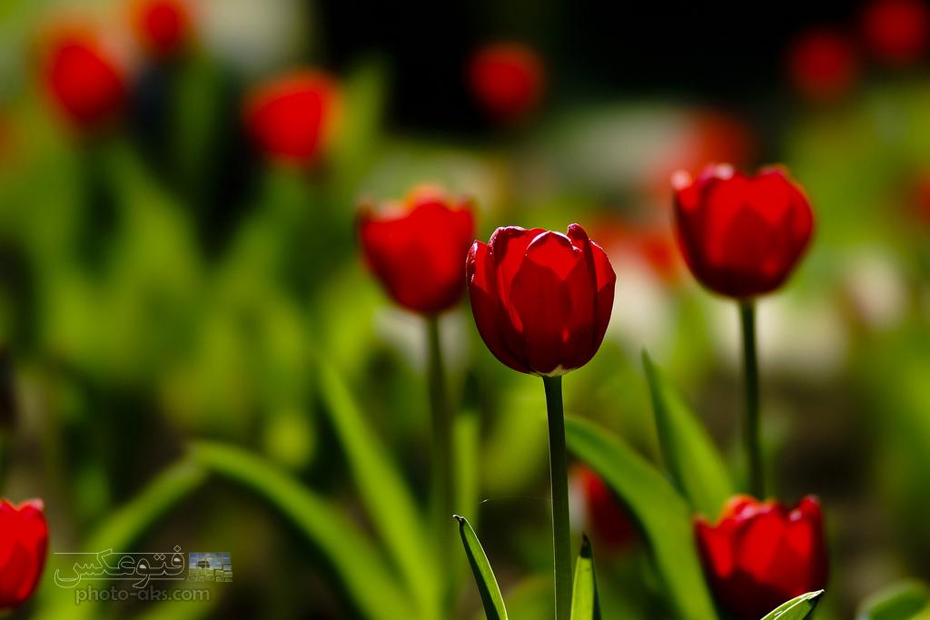 عکس گل سرخ لاله