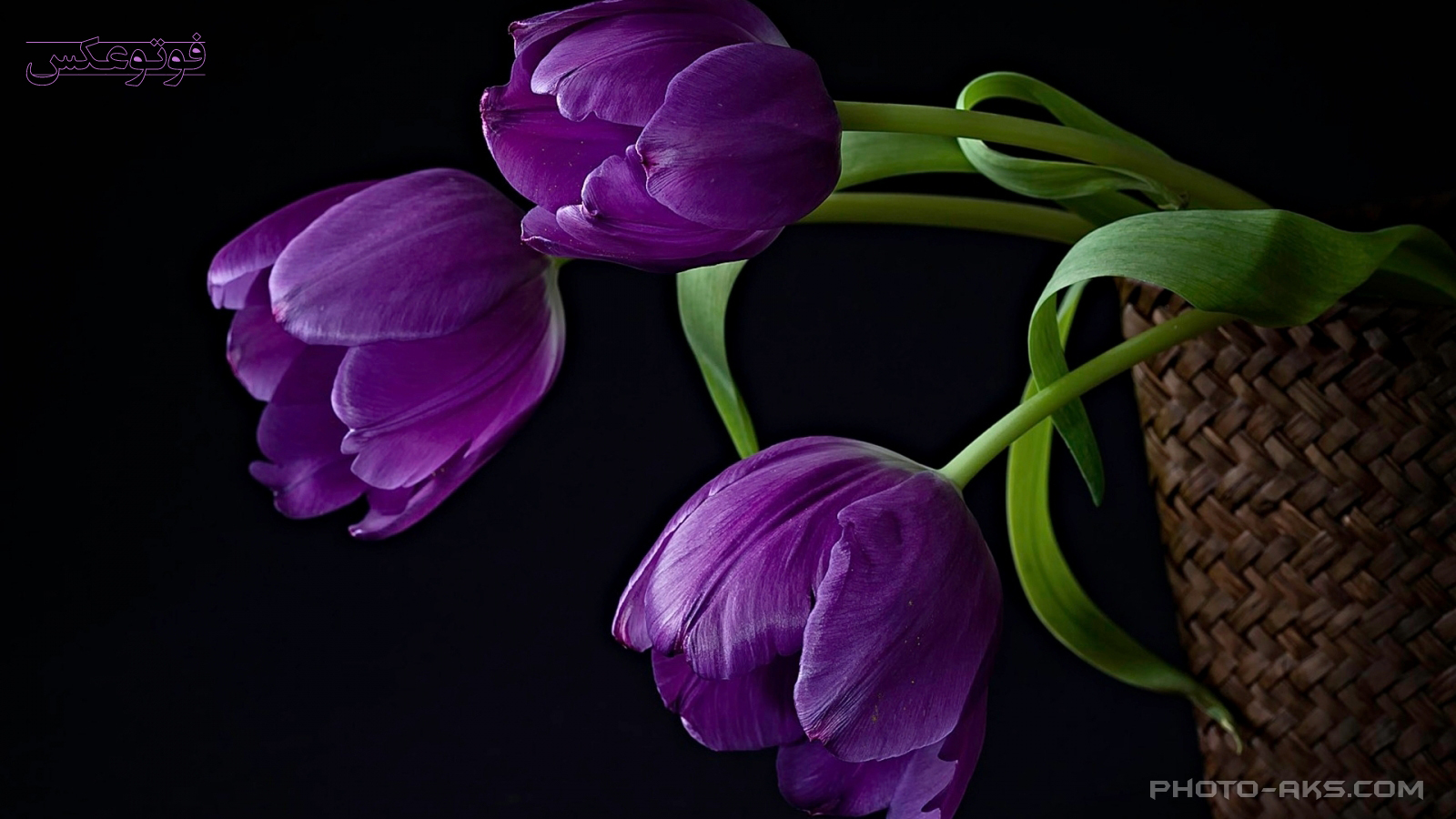 http://pic.photo-aks.com/photo/nature/flowers/tulip/large/purple-tulips-photo-aks.com.jpg