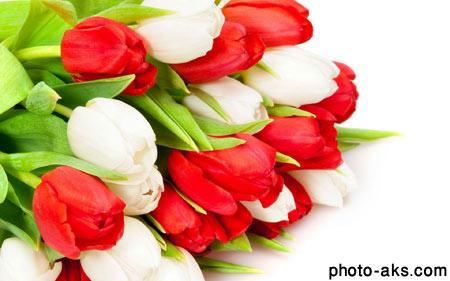 گل های لاله سفید و قرمز red and white tulips
