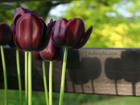 گل لاله سیاه black tulips