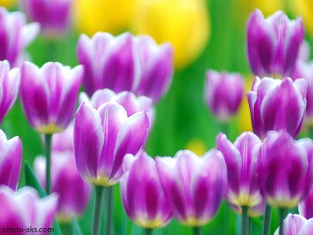 گل لاله بنفش purple tulips flower